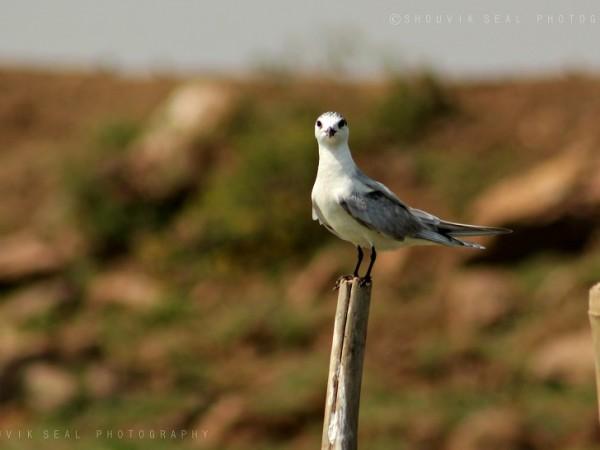 Chilka photos, Mangalajodi Bird Sanctuary - A Tern