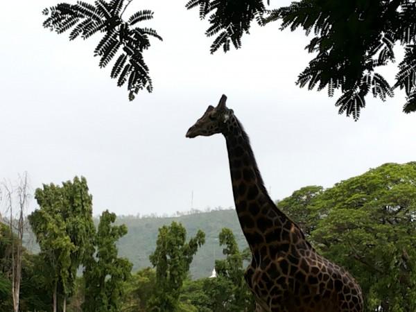 Mysore photos, Mysore Zoo - A Giraffe
