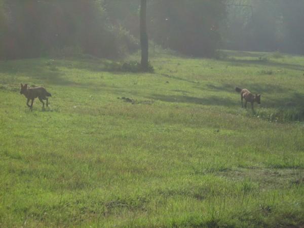 Bandipur photos, Bandipur National Park - Wild dogs