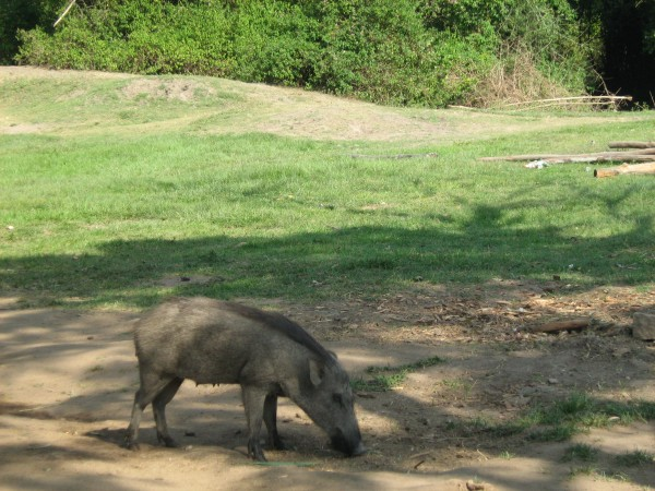 Bandipur photos, Bandipur National Park - Wild Boar