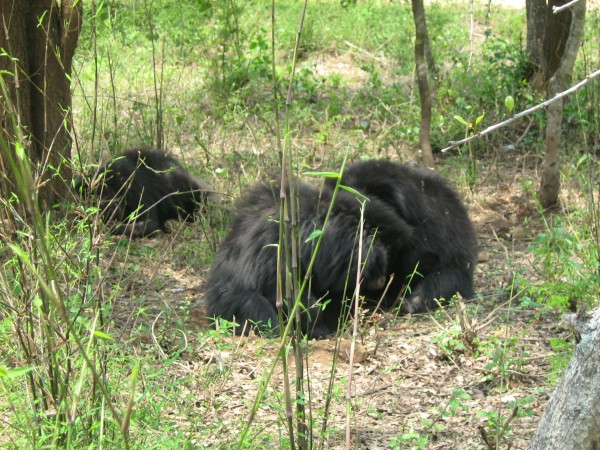 Bannerghatta photos, Bannerghatta National Park - Bear Hug!