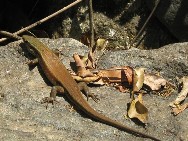 Coorg photos, Iruppu Falls - Chameleon