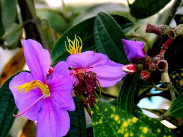 Jaintia Hills photos, Dawki - Cleanest Village-near Dawki(flowers)222
