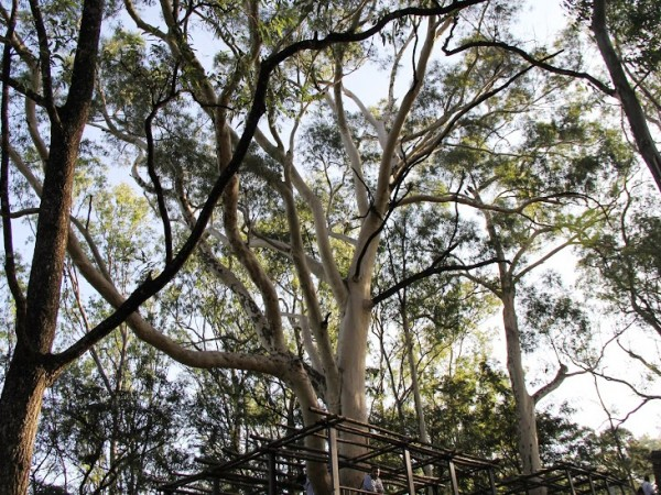 Nandi Hills photos, Giant eucalyptus trees forming the dense flora of the region