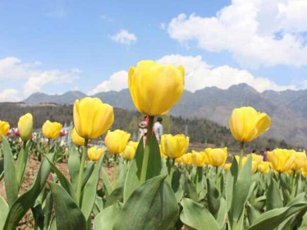 Srinagar Photos, Indira Gandhi Tulip Garden- Tulip Garden