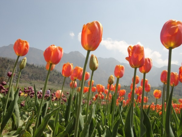 Srinagar photos, Indira Gandhi Tulip Garden - Beautiful Blooms