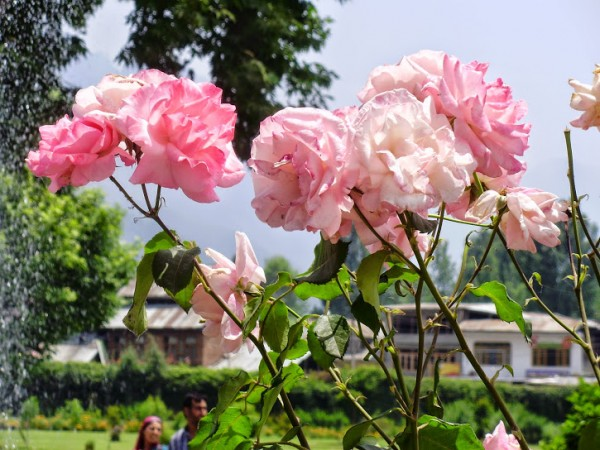 Srinagar photos, Shalimar Gardens - Flowers in Garden