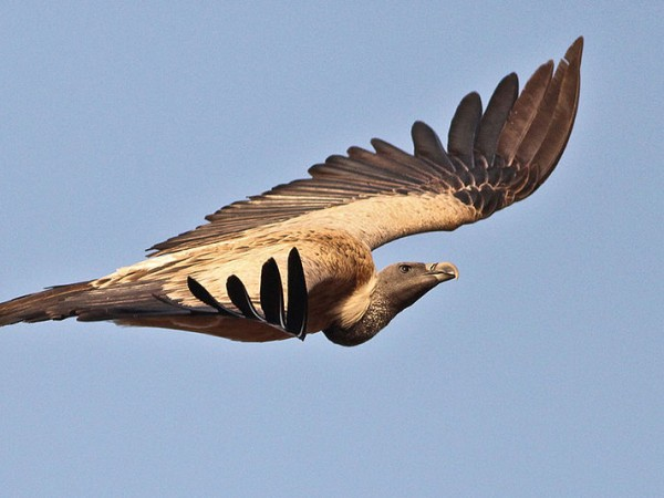 Ramanagaram photos, Long-billed Vulture