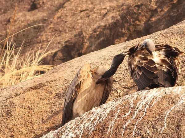 Ramanagaram photos, Courtship of Long-billed Vultures