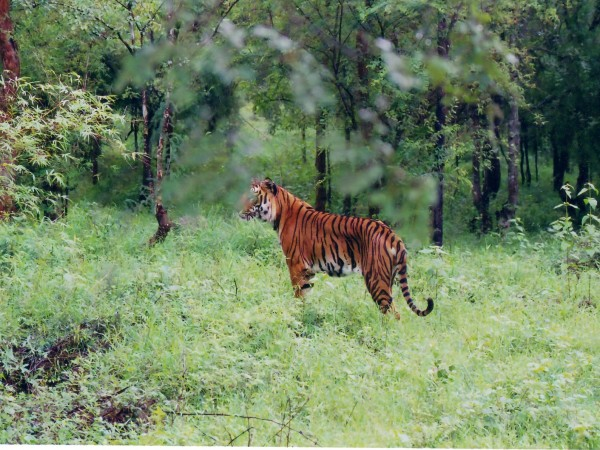 Bhadra photos, Bhadra Wildlife Sanctuary - Indian_Tiger_at_Bhadra_wildlife_sanctuary
