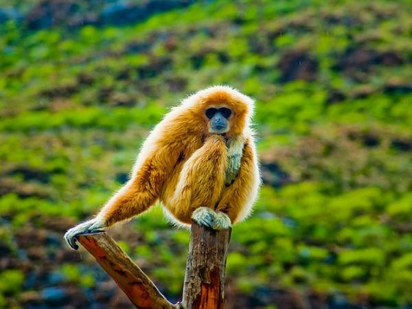 Kiphire photos, Fakim Wildlife Sanctuary - 19-gibbon1