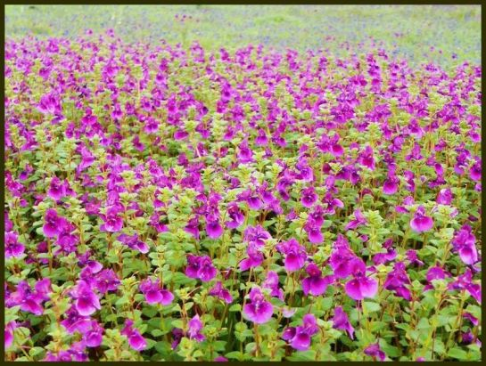 Satara photos, Kaus Talav and Kaus Plateau - Flowers