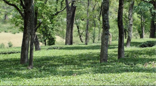 Palampur photos, Tea Gardens - The garden