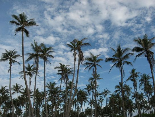 Lakshadweep photos, Agatti Island - Coconut Palms