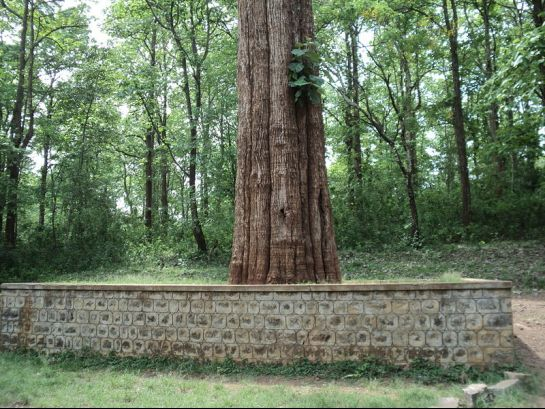 Nilambur photos, Kannimara Teak- The Towering Teak