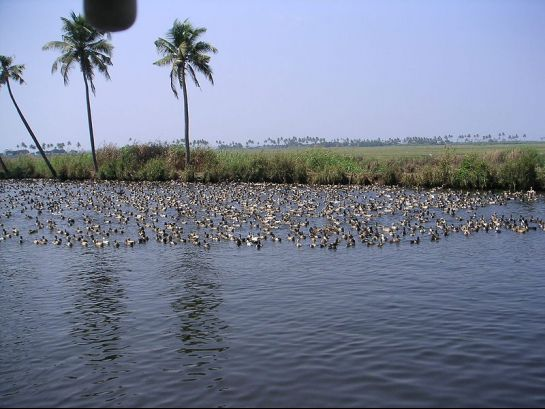 Kollam photos, Ashtamudi Backwaters - Sailing Ducks