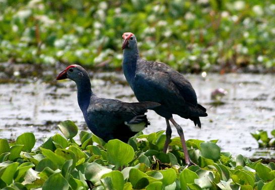 Alleppey photos, Vembanad Lake - Swamphen