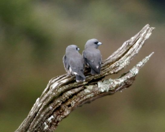 Idukki photos, Thattekkad Bird Sanctuary - Woodswallows