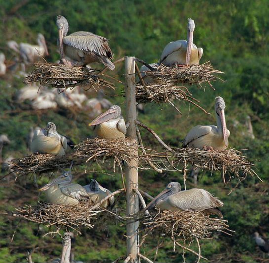 Guntur photos, Uppalapadu Nature Conservation - Spot-billed Pelicans
