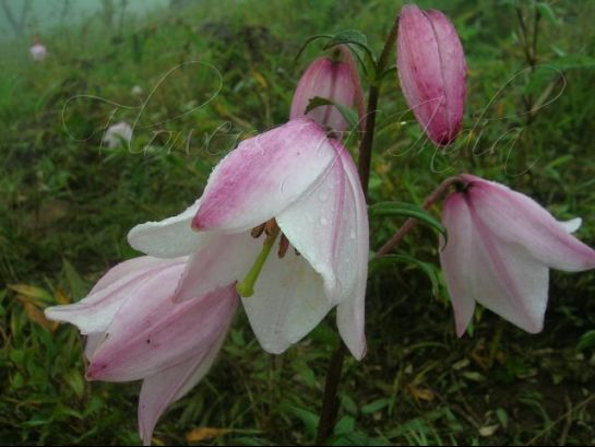 Ukhrul photos, Siroi Lily flower