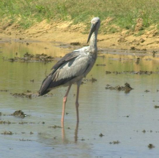 Pulicat photos, Pulicat Bird Sanctuary - Openbill