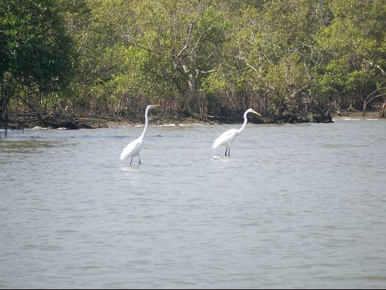Cuddalore photos, Pichavaram Mangrove Forest - Two egrets