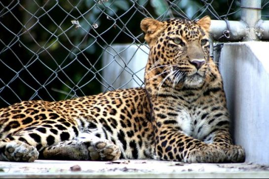 Kanpur photos, Allen Forest Zoo - A Leopard at  a composed state.
