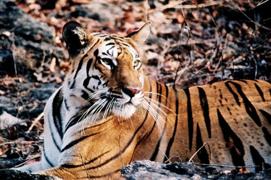 Pench photos, Pench National Park - Wild Tiger
