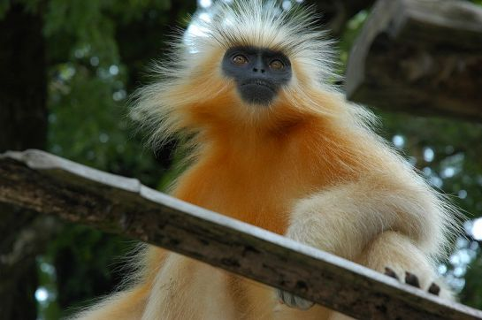 National Parks photos, Chakrashila Wildlife Sanctuary - Golden Langur