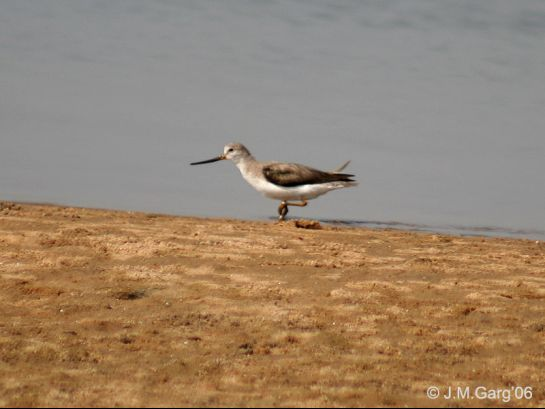 Chilika photos, Chilka Lake - Terek Sandpiper