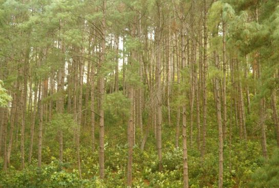 Kandhamal photos, Daringbadi -Pine Forest