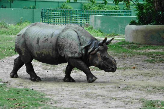 Kolkata photos, Alipore Zoo - A Rhinoceros