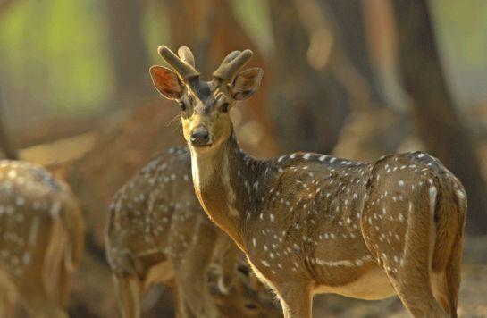 Birbhum photos, Ballabhpur Wildlife Sanctuary - A cute Deer