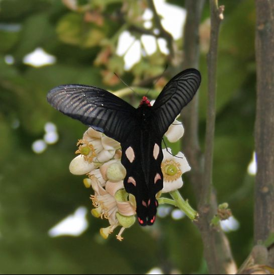 Samsing photos, Great Windmill Butterfly