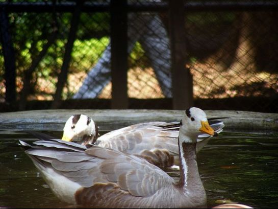 Patna photos, Patna Zoo - Swans