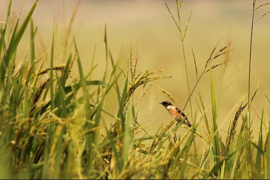 Begusarai photos, Kanwar Lake Bird Sanctuary - The Siberian Stonechat