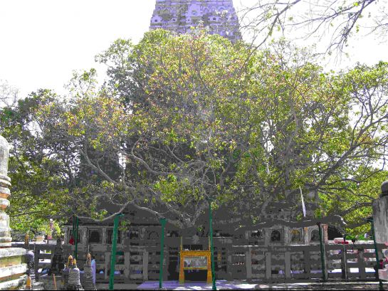 Bodh Gaya photos, Bodhi Tree - Bodhgaya tree