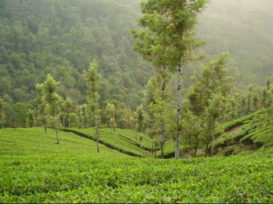 Wayanad photos, Tea Plantations