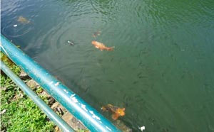 Fishes in the lake