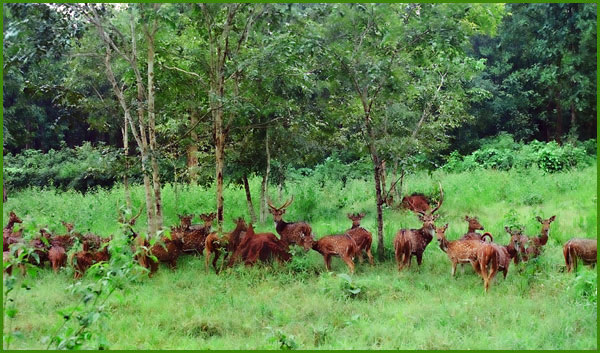 A pack of deer in Thirunelli forest