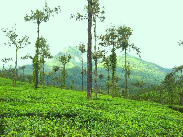 Tea Estate View
