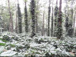 Coffee Plantations on Ananthagiri Hills, Araku Valley